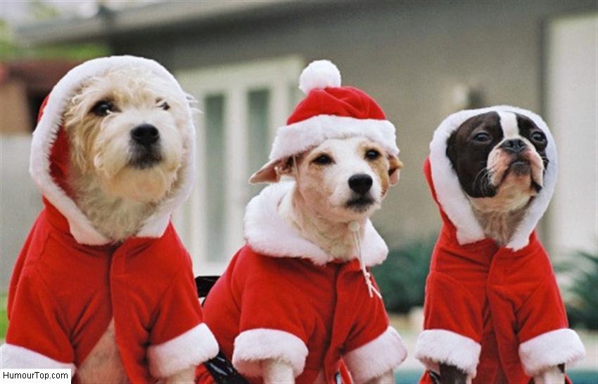 Trois chiens de noel